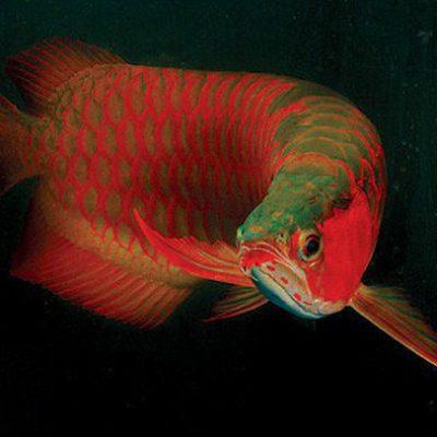 Hướng dẫn sử dụng thuốc mê cá rồng đúng cách cho người chơi cá